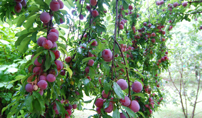 buildblog-casa-glebinias-fruit-trees-1
