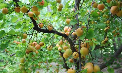 buildblog-casa-glebinias-fruit-trees-2